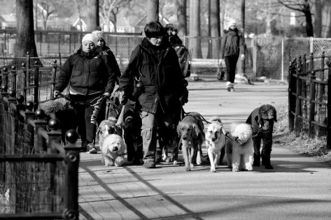many-dogs-walking